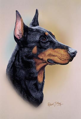 doberman pinscher head study print rmdh65 doberman pinscher head study ...